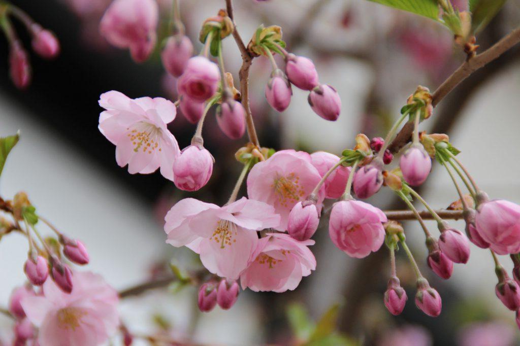宏楽園の桜